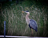 Great Blue Heron on North Sand Lake