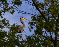A Great Blue Heron perches high above North Sand lake