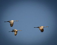 Sandhill Cranes over Crex Meadows